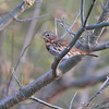 Fox Sparrow <br /> Creve Coeur Marsh