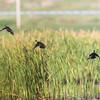 Wood Ducks <br /> Creve Coeur Marsh
