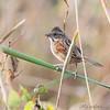 Swamp Sparrow <br /> Creve Coeur Marsh