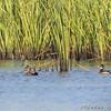 Wood Duck <br /> Creve Coeur Marsh