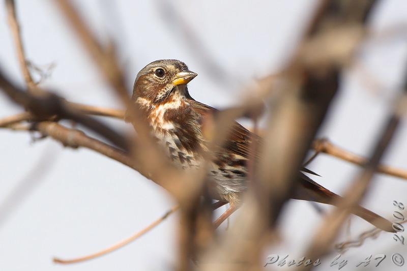 Fox Sparrow <br /> Creve Coeur Marsh