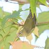 Orange-crowned Warbler <br /> Bridgeton, Mo. <br /> St. Louis County, Missouri <br /> 2008-10-18