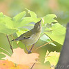 Orange-crowned Warbler