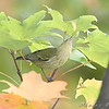 Orange-crowned Warblerr <br /> Bridgeton, Mo. <br /> St. Louis County, Missouri <br /> 2008-10-18