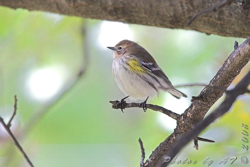 Yellow-rumped Warbler <br /> Bridgeton, Mo. <br /> St. Louis County, Missouri <br /> 2008-10-27