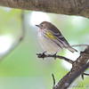 Yellow-rumped Warbler <br /> Bridgeton, Mo.<br /> 2008-10-27