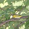 Nashville Warbler <br /> Bridgeton, Mo. <br /> St. Louis County, Missouri <br /> 2008-10-18