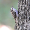 Brown Creeper<br /> Bridgeton, Mo.<br /> 2008-10-27