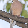 Mourning Dove<br /> Bridgeton, Mo. <br /> St. Louis County, Missouri <br /> 2008-10-20