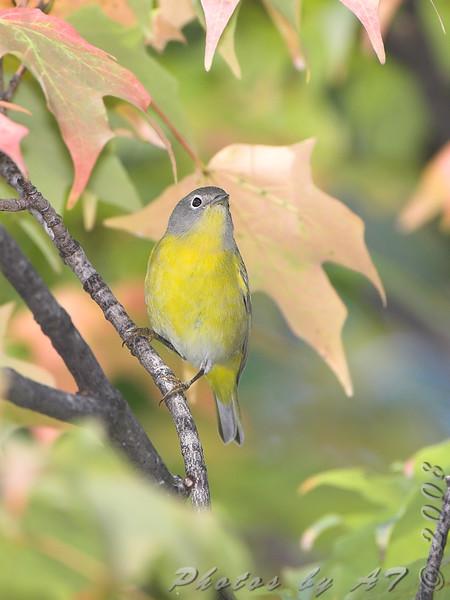 Nashville Warblerr <br /> Bridgeton, Mo. <br /> St. Louis County, Missouri <br /> 2008-10-18