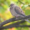 Mourning Dove <br /> Bridgeton, Mo. <br /> St. Louis County, Missouri <br /> 2008-10-18
