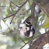 Female Downy Woodpecker <br /> Bridgeton, Mo. <br /> St. Louis County, Missouri <br /> 2008-10-18