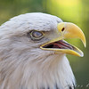 Bald Eagle <br /> World Bird Sanctuary