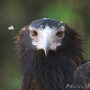 Wedge-tailed Eagle?<br /> Now that's focused!! World Bird Sanctuary