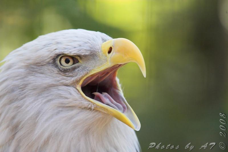 Bald Eagle <br /> World Bird Sanctuary