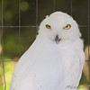 Snowy Owl<br /> World Bird Sanctuary