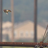 Peregrine Falcon ?<br /> Hwy B, St Charles County