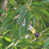 American Redstart <br /> Bridgeton Riverwoods Park and Trail