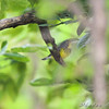 Canada Warbler <br /> Bridgeton Riverwoods Park and Trail