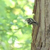 Black and White Warbler <br /> Bridgeton Riverwoods Park and Trail