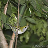Well, lookie that worm up there<br /> First Fall Female Chestnut-sided Warbler <br /> Bridgeton Riverwoods Park and Trail