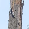 Female Downy Woodpecker <br /> Bridgeton Riverwoods Park and Trail