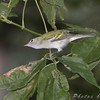 First Fall Female Chestnut-sided Warbler <br /> Bridgeton Riverwoods Park and Trail