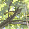 Great Crested Flycatcher <br /> Bridgeton Riverwoods Park and Trail