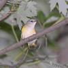 Female American Redstart <br /> Bridgeton Riverwoods Park and Trail
