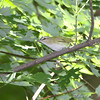 Red-eyed Vireo <br /> Bridgeton Riverwoods Park and Trail