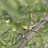 First Fall Female Wilson's Warbler ? <br /> Bridgeton Riverwoods Park and Trail