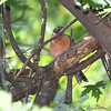 American Robin <br /> Bridgeton Riverwoods Park and Trail