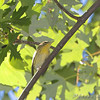 Blackburnian Warbler <br /> Bridgeton Riverwoods Park and Trail