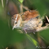 Carolina Wren <br /> Bridgeton Riverwoods Park and Trail