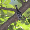 Black and White Warbler <br /> Bridgeton Riverwoods Park and Trail