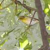 Blackburnian Warbler <br /> Bridgeton Riverwoods Park and Trail