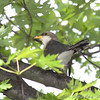 Yellow-billed Cuckoo <br /> Bridgeton Riverwoods Park and Trail