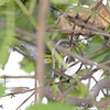 Magnolia Warbler <br /> Bridgeton Riverwoods Park and Trail