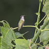 Ruby-throated Hummingbird <br /> Bridgeton Riverwoods Park and Trail