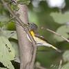American Redstart <br /> Bridgeton Riverwoods Park and Trail