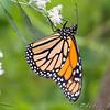 Monarch <br /> Bridgeton Riverwoods Park and Trail