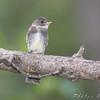 Olive-sided Flycatcher <br /> Bridgeton Riverwoods Park and Trail
