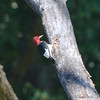 Red-headed Woodpecker <br /> Lost Valley Trail
