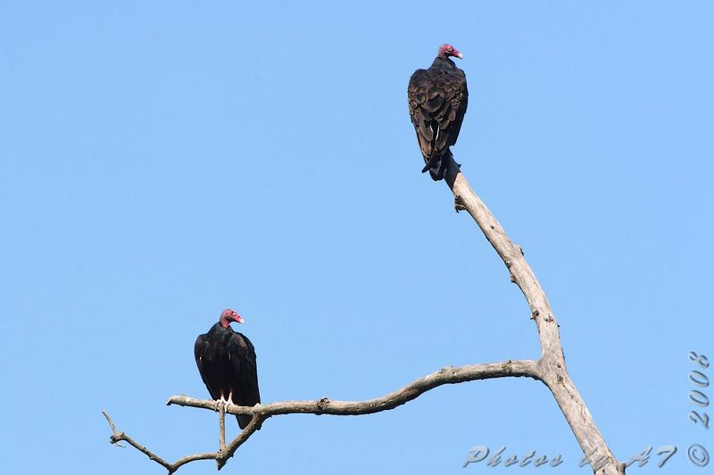 Turkey Vulture <br /> Lost Valley Trail