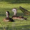 Wood Ducks <br /> Busch Wildlife Conservation Area