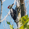 Pileated Woodpecker <br /> Lost Valley Trail