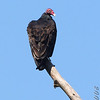 Turkey Vulture <br /> Lost Valley Trail