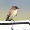 Eastern Phoebe <br /> Clarence Cannon National Wildlife Refuge