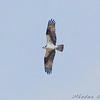 Osprey <br /> Clarence Cannon National Wildlife Refuge