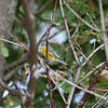 Magnolia Warbler <br /> Clarence Cannon National Wildlife Refuge<br /> B.K. Leach Conversations Area